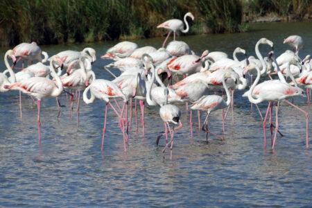 Camargue Flamingos